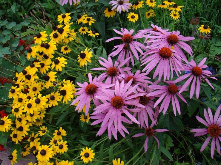 область, цветы эхинацея посадка и уход фото всего атаке комаров